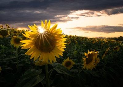 Coucher de soleil dans un champ de tournesol, Tarn