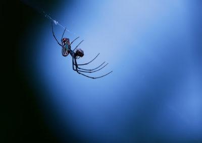 Araignée en train de prendre son repas, Costa Rica