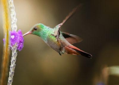 Colibri en plein vol, parc de la Catarata del Toro, Costa Rica