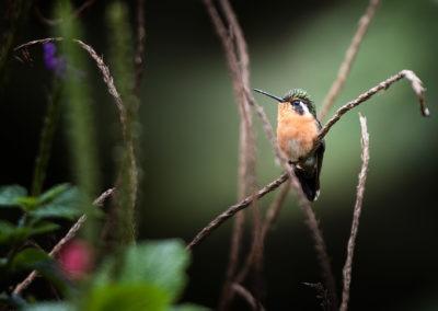 Colibri se reposant, parc de la Catarata del Toro, Costa Rica