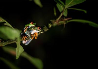 Couple de rainette au yeux rouge, Bijagua de Upala, Costa Rica