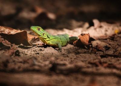 Lezard vert se prélassant sous le soleil du Costa Rica