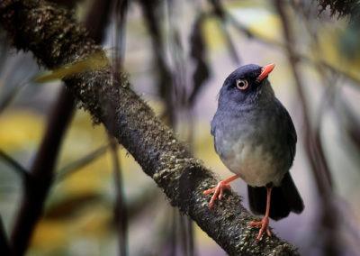 L'oiseau au gros yeux, parc Monteverde, Costa Rica