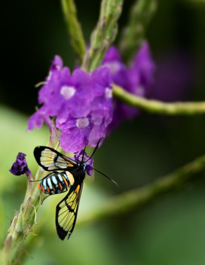 Papillon, Bijagua de Upala, Costa Rica
