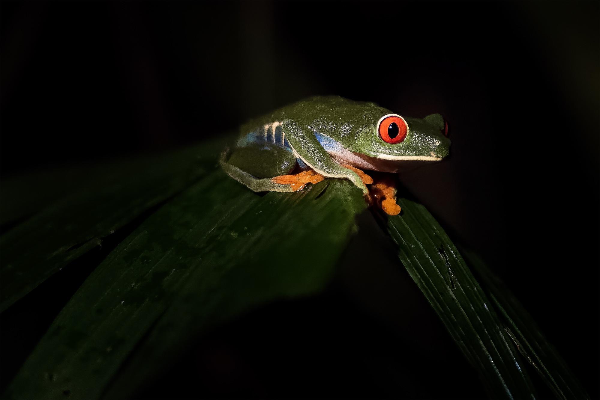 Rainette au yeux rouge, Bijagua de Upala, Costa Rica