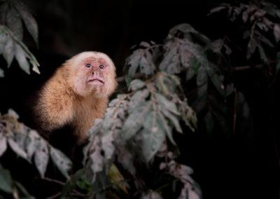 Sapajou capucin, parc de Palo Verde, Costa Rica