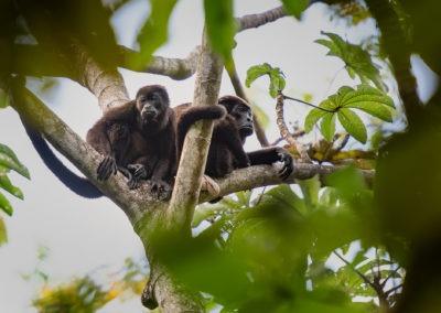 Singes hurleurs, Nosara, Costa Rica