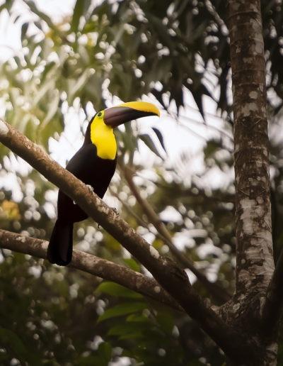 Toucan de Swainson , Bijagua de Upala, Costa Rica