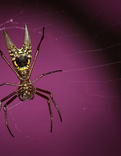 araignée Micrathena sagittata, Costa Rica