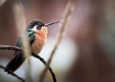 colibri grognon, Costa Rica