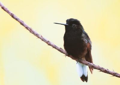 colibri sur une branche, Baro del Toro, Costa Rica