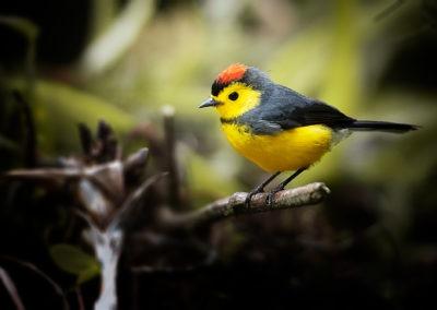 Paruline ceinturée, parc national de Monteverde, Costa Rica